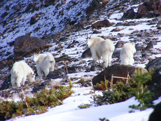 Goats on Goat Island