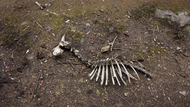 Goat skeleton