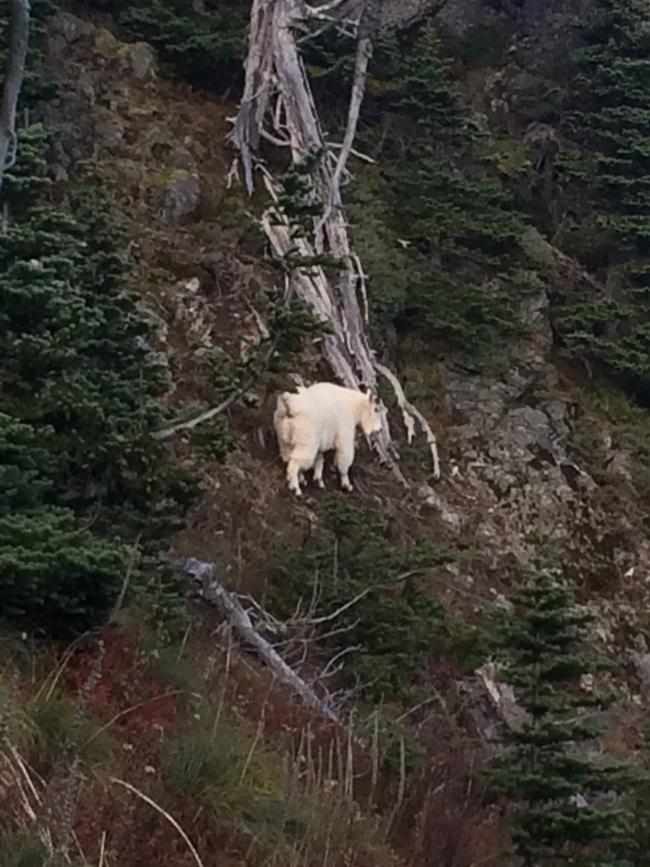 Mountain goat was 300 feet below Tolmie Peak