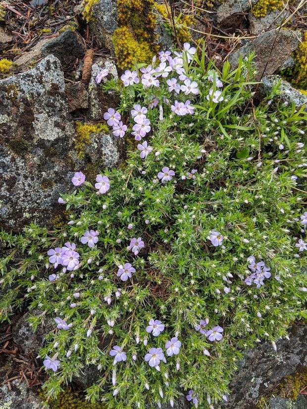 Little purple flowers on the summit