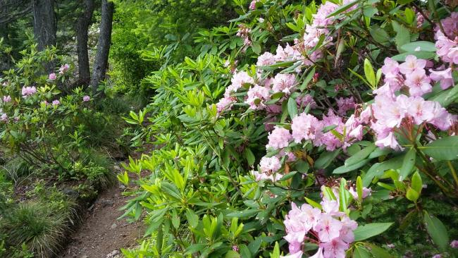 Squaw Mtn Trail with Rhododendron