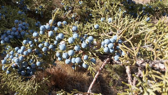 Juniper Berries!