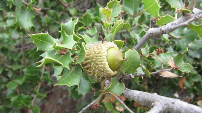 Namesake scrub oak trees - very sharp leaves!