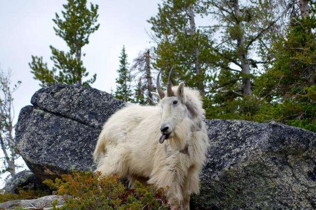 "An original ""Mountain Goat"""