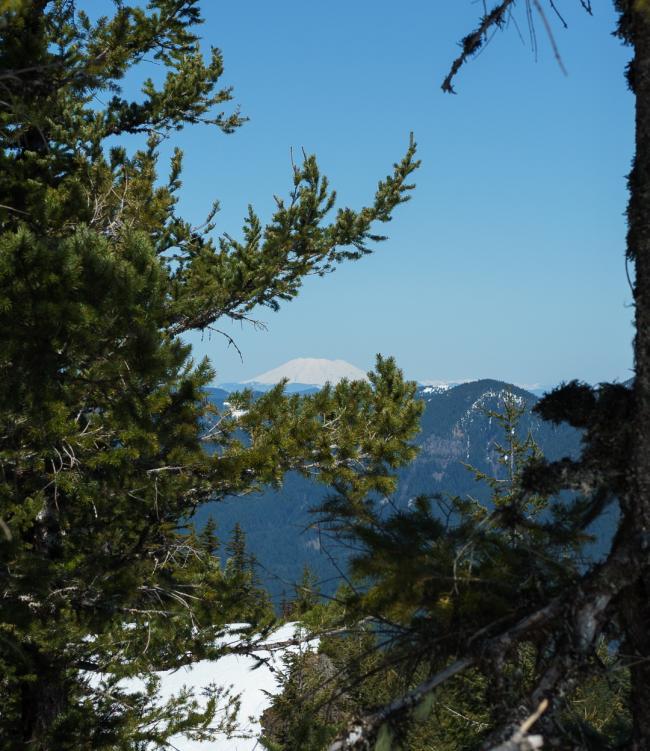View of Mt Adams between trees