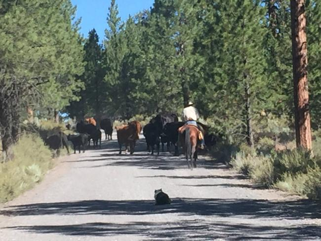 A cattle drive delayed our arrival